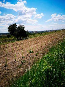 Pavelka - ochrana mladej vinice